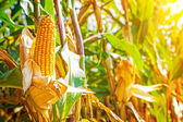 Ears of corn on plants — Stock Photo