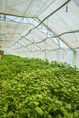 Growing of potato in greenhouse — Stock Photo