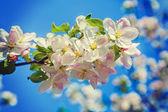 çiçek açması elma ağacının dalını — Stok fotoğraf