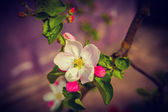 Single flower of blossoming apple tree — Stock Photo