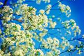 Blossoming branches of cherry tree — 图库照片
