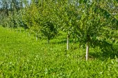 Young apple trees in garden — Stock Photo