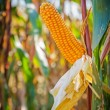 Close up view maize corn on the cob — Stock Photo #69625213