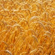 Close up of wheat plants — Stock Photo #69625331