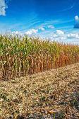 Corn field in harvesting — Stockfoto