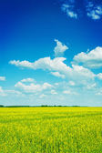 Rapeseed field and sky — Stock Photo