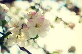 Apple tree flowers — Stock Photo