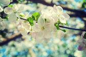 Flowers of apple tree — Stock Photo
