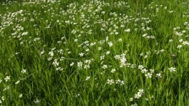 Video 1080p - Cerastium flowers (mouse-ear chickweed) on meadow — Vídeo de stock
