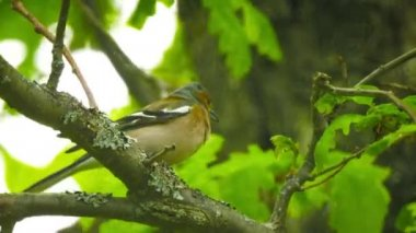 Video FullHD - Male Common Chaffinch (Fringilla coelebs) sitting on a branch in an oak forest — Stock Video