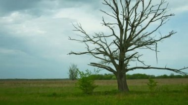 Video 1080p - Dead tree in the field. Dry old oak with panning and zoom effects — Stock Video