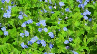 Video 1080p - Small blue flowers in the flowerbed - Veronica — Stock Video