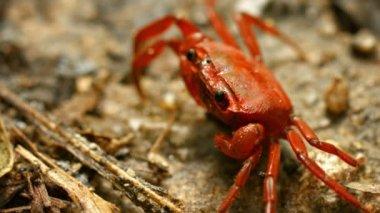 Video 1080p - Semiterrestrial frugivorous waterfall crab (Phricothelphusa limula). Phuket, Thailand — Stock Video