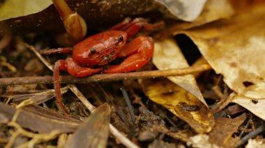 Video FullHD - Tropical semiterrestrial waterfall crab (Phricothelphusa limula). Phuket, Thailand — Stock Video