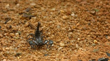 Video 1920x1080 - Asian forest scorpion (Heterometrus) in defensive position on the ground. Thailand — Stock Video