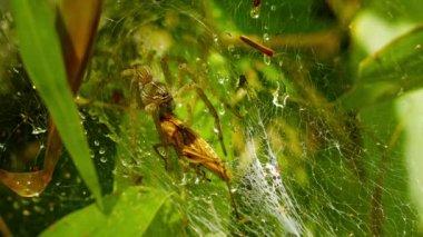 Video FullHD - Spider eating a grasshopper in her web — Stockvideo
