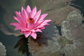 Pink water lily with brown leaves on the surface of a pond close — ストック写真