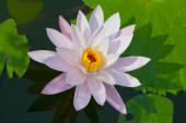 Water lily closeup. Indonesia, Bali — Stock Photo