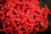 Red Ixora flowers — Stock Photo