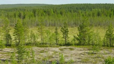 Video 1080p - Northern landscape with pines and bog. Russia — Stock Video