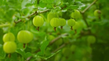Video 1080p - Green gooseberries ripen on the bushes — Stock Video