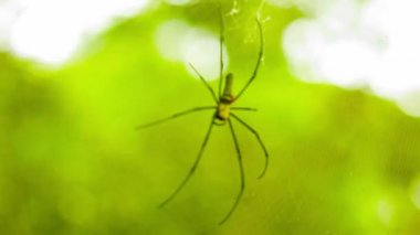 Video 1080p - Biggest spider Golden Orb in web in the rainforest of Thailand — Stock Video