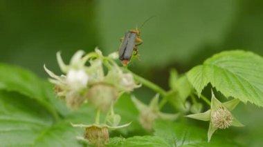 Video 1080p - Red Soldier beetle on bush of garden raspberries — Stock Video
