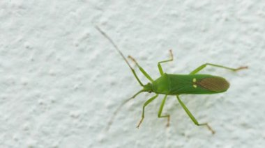 1080p video - Green shield bug on the wall close-up. Insects of Thailand — Stock Video