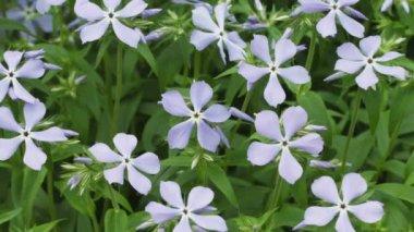 1080p video - Blue Phlox divaricata flowers close-up — Stock Video
