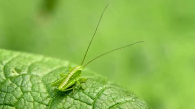 1080p video - The larva of grasshopper. Animal uses disguise — Stock Video