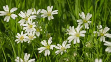 1080p video - Cerastium flowers (mouse-ear chickweed) on meadow close up — Stock Video