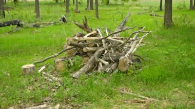 1080p video - A pile of oak wood on the forest floor — Stock Video