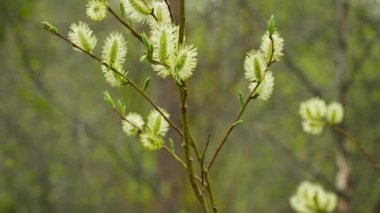Video 1080p - Pussy willow flowers in the northern spring forest — Stock Video
