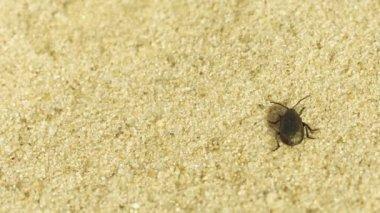 макрос - маленький черный жук, проходит через песок - видео 1080p — Стоковое видео