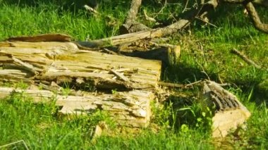 1920x1080 video - Wreckage of wood on the ground in an oak forest — Stock Video