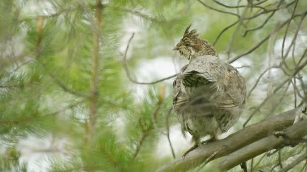 Video 1080p - grouse Hazel escondido en las ramas de un pino — Vídeo de stock
