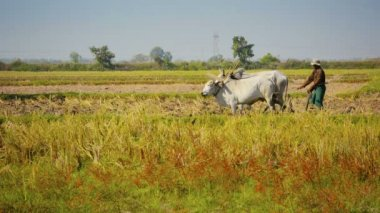 NAYPYIDAW UNION TERRITORY, BURMA - CIRCA JAN 2013: Plowing field using cows - ancient way — Stock Video