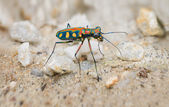 Extreme Closeup of a Brightly Colored Tiger Beetle in the Wild — Stock Photo