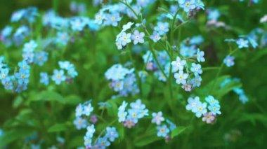 Myosotis blue flowers (forget-me-nots) close up — Stock Video