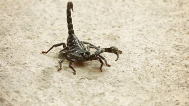 Asian forest scorpion (Heterometrus) In the position of Defense — Stock Video