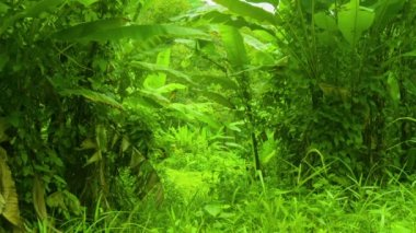 Tropical thicket of bananas and other grasses — Stock Video
