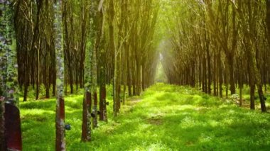 Symmetrical Rows of Rubber Trees in Perspective — Stock Video