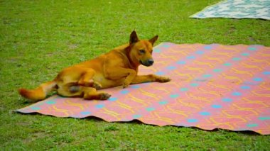 Male Dog Rolling on Picnic Blanket at Vang Vieng. Laos — Stock Video