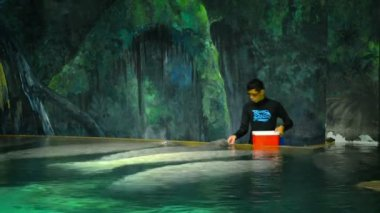 SINGAPORE - CIRCA FEB 2015: Animal care worker at a zoo in Singapore. feeding the manatees their regular meal. — Stock Video