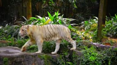 White Tiger in his Habitat at a Zoo — Wideo stockowe