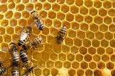 Api su honeycells — Foto Stock