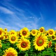 Sunflowers field — Stock Photo #52861211