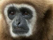 Gibbon in zoo — Stock Photo