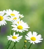 Chamomiles flowers — Stock Photo