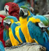 Aves papagaio — Fotografia Stock